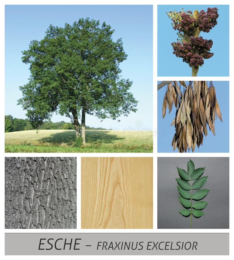Allgemeine Asche, Asche, Fraxinushobelspäne, Früchte, Barke, Holz, Baum, Laubbaum stockfotos