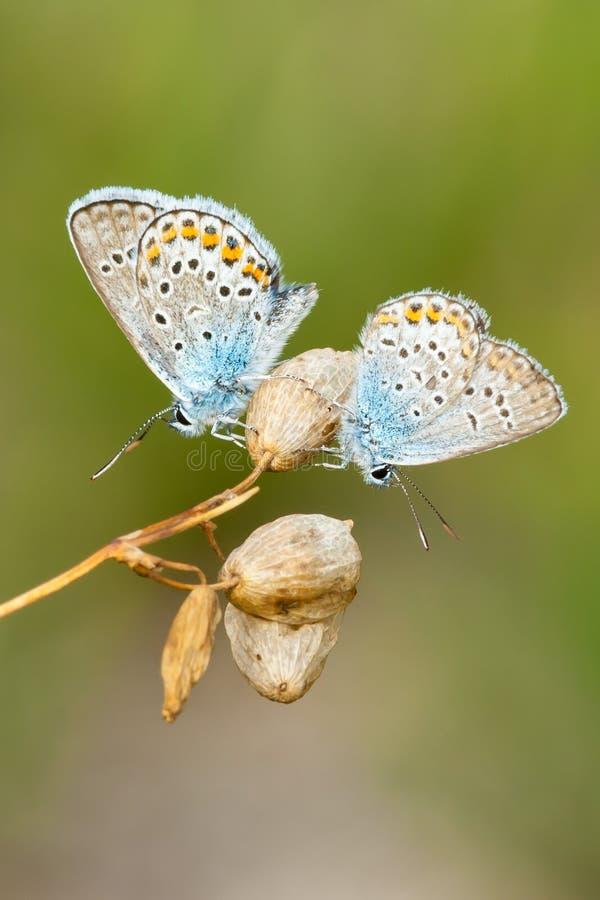 Allgemeine blaue Schmetterlingmänner, die auf trockenen Blumen stillstehen lizenzfreie stockfotos