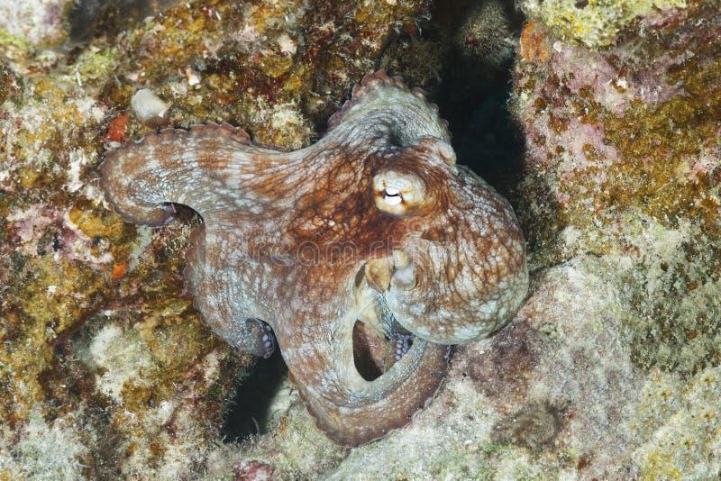 Allgemeine Krake auf einem Korallenriff stockfoto