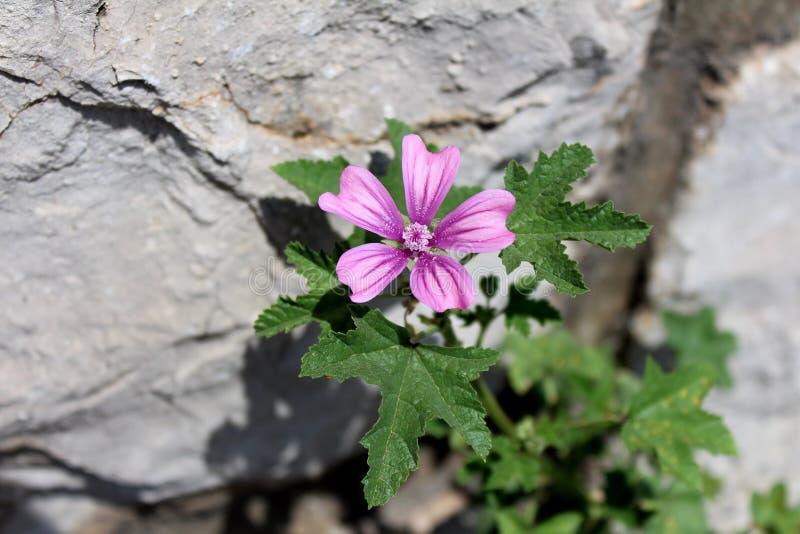 Allgemeine Malve oder Malva sylvestris, die Krautanlage mit hellem rötlich-Purpurrotem mit dunklen Streifenblumen auf Steinhinter lizenzfreies stockbild