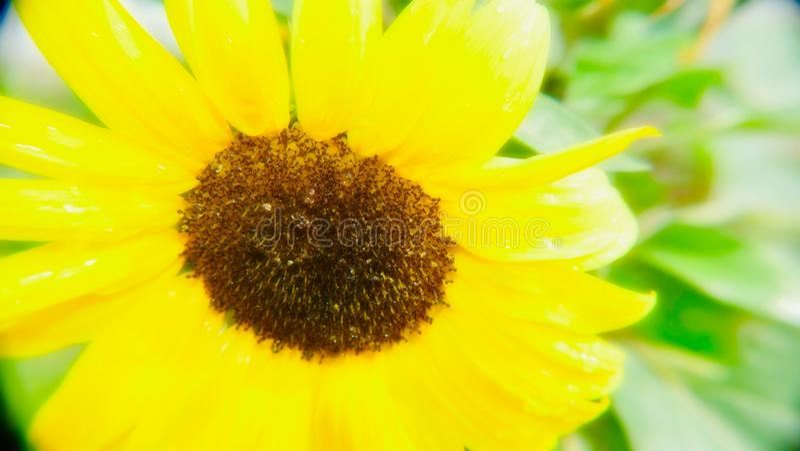 Allgemeine Sonnenblume des Helianthus Annuus lizenzfreie stockfotografie