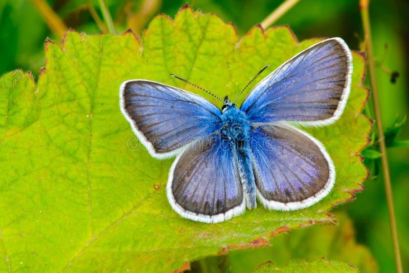 Allgemeiner blauer Schmetterlingmann, der auf Blatt sitzt lizenzfreie stockfotos