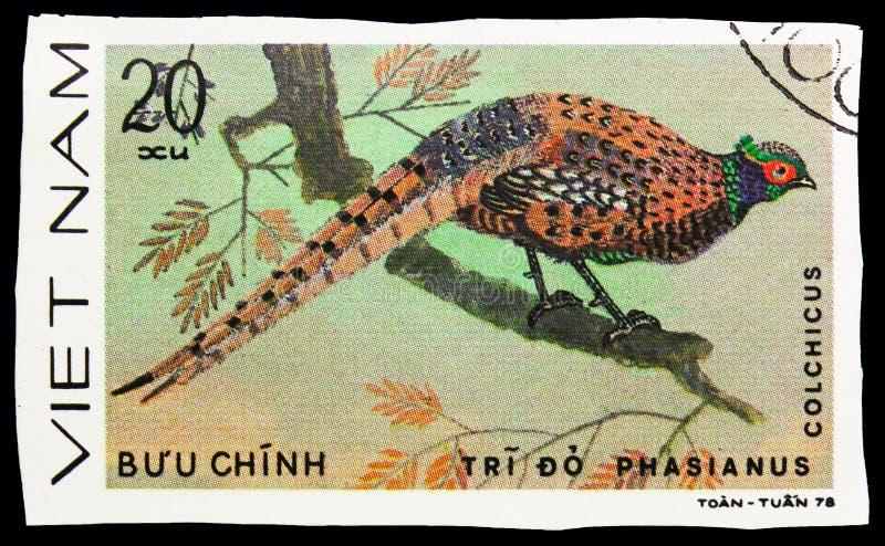 Allgemeiner Fasan (Phasianus colchicus), Fasane serie, circa 1979 stockbild