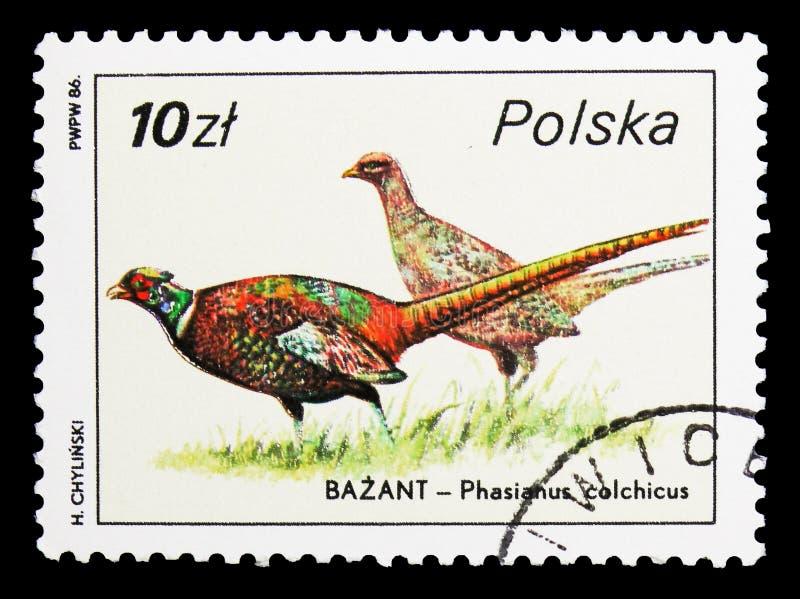 Allgemeiner Fasan (Phasianus colchicus), serie der wild lebenden Tiere, circa 1986 stockfotografie