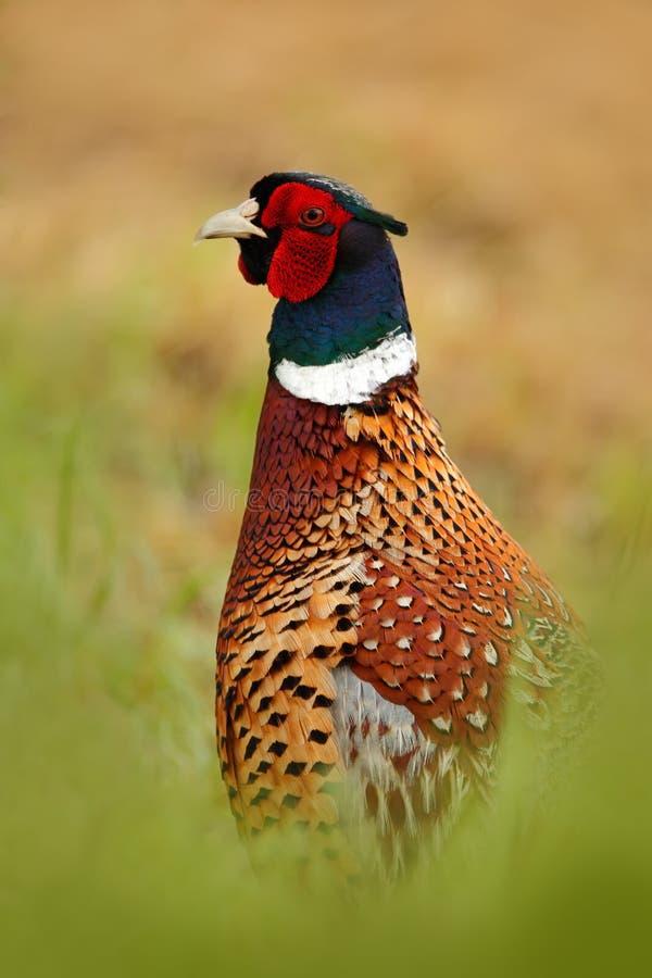 Allgemeiner Fasan, verstecktes Porträt, Vogel mit dem langen Schwanz auf der Wiese des grünen Grases, Tier im Naturlebensraum, Sz stockbild