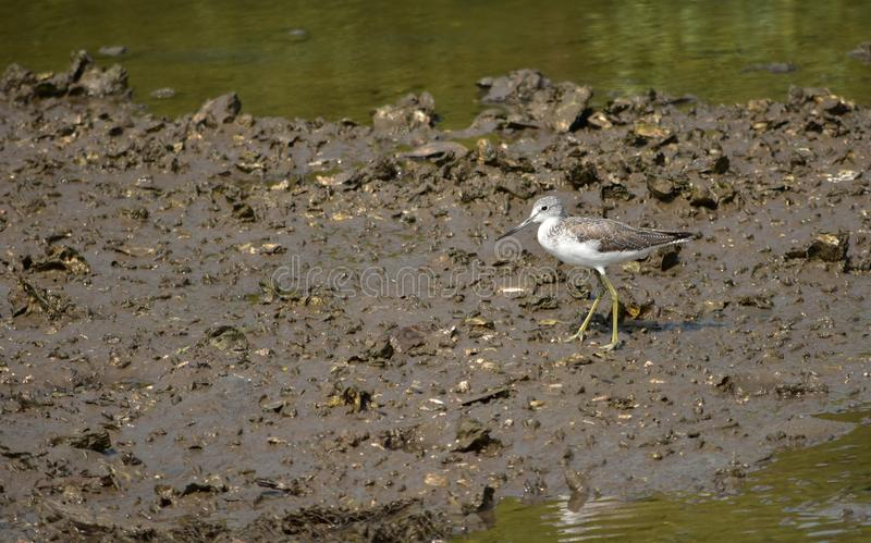 Allgemeiner Grünschenkelweg des Vogels auf dem Schlickwatt, im natürlichen ha lizenzfreies stockbild
