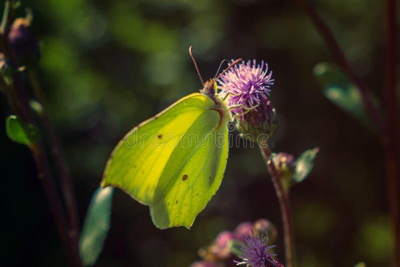 Allgemeiner Schwefel auf purpurroter Flockenblume lizenzfreie stockbilder