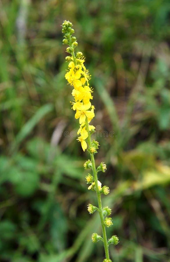 Allgemeines Agrimony Agrimonia eupatoria lizenzfreie stockfotografie