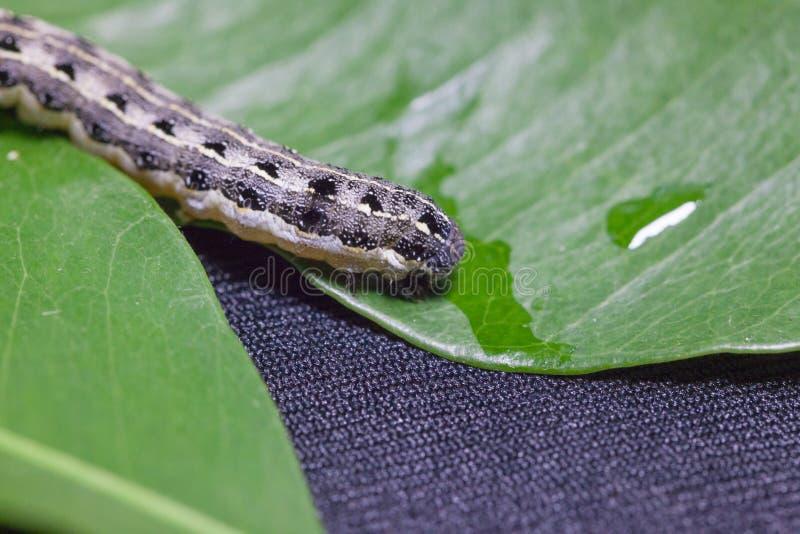 Allgemeines cutworm auf Blättern stockbild