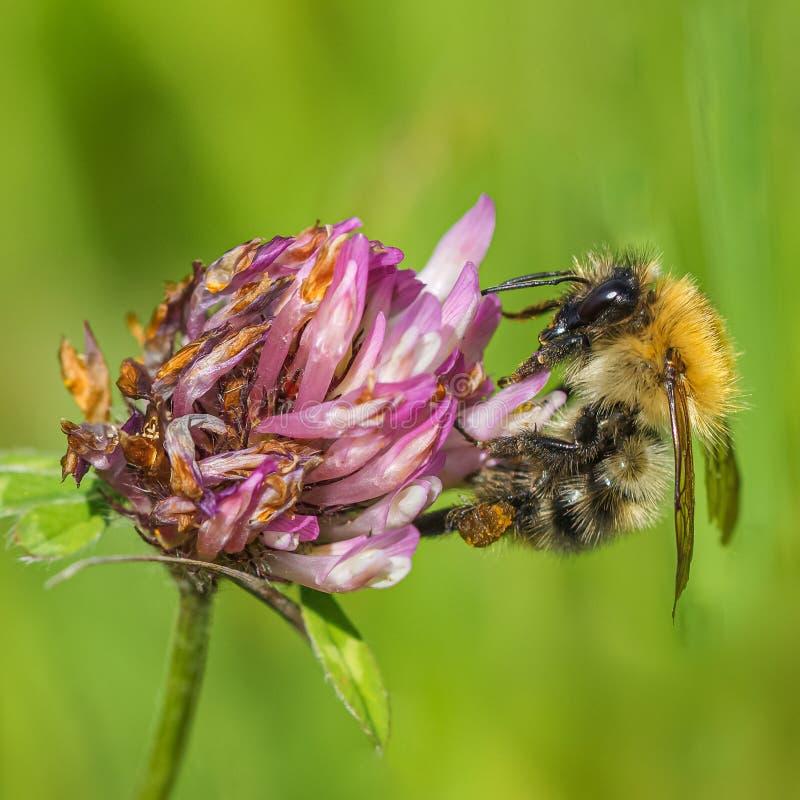 Allgemeines Kremplerbiene Bombus pascuorum, das Nektarblütenstaub von einer Kleeblume sammelt stockfoto
