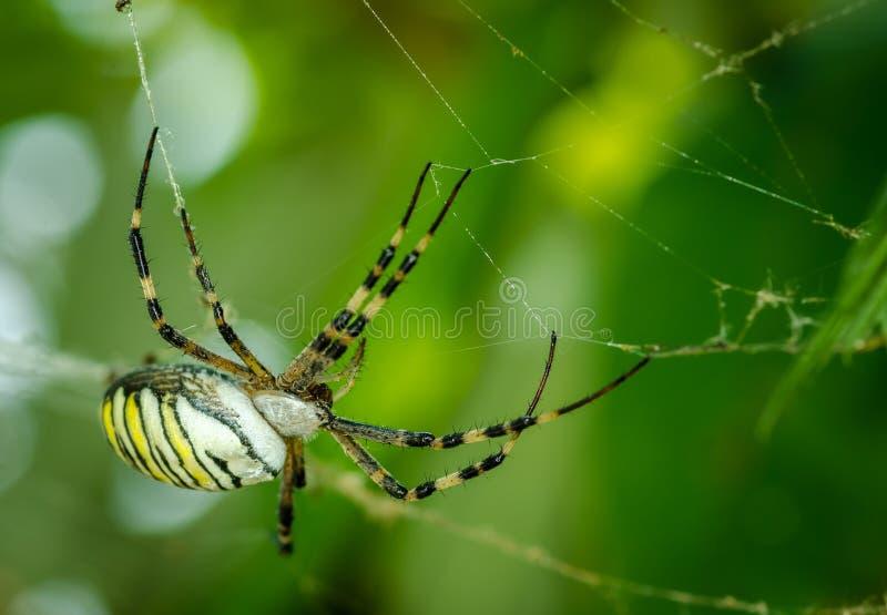 Allgemeines Schwarzes und Streichfettmais oder -Gartenkreuzspinne Argiope aurantia auf seinem Netz, das auf seinen Opferabschluß  stockfotos