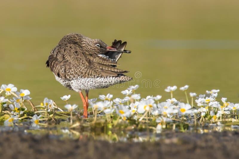 Allgemeines totanus Tringa Rotschenkel des erstaunlichen Vogels von Region Kastilien-La Mancha in Spanien lizenzfreie stockbilder