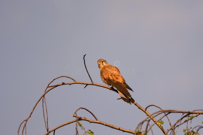Allgemeines Turmfalke Falco-tinnunculus - erwachsener männlicher Vogel stockfoto