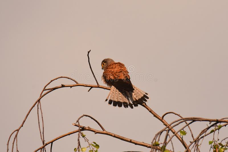 Allgemeines Turmfalke Falco-tinnunculus - erwachsener m?nnlicher Vogel stockbild