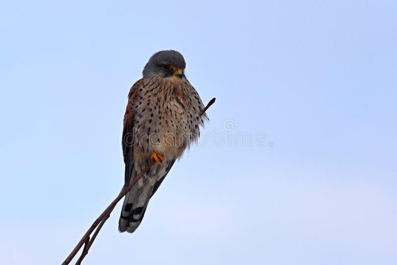 Allgemeines Turmfalke Falco-tinnunculus jugendlicher Vogel - Seitenansicht lizenzfreies stockfoto