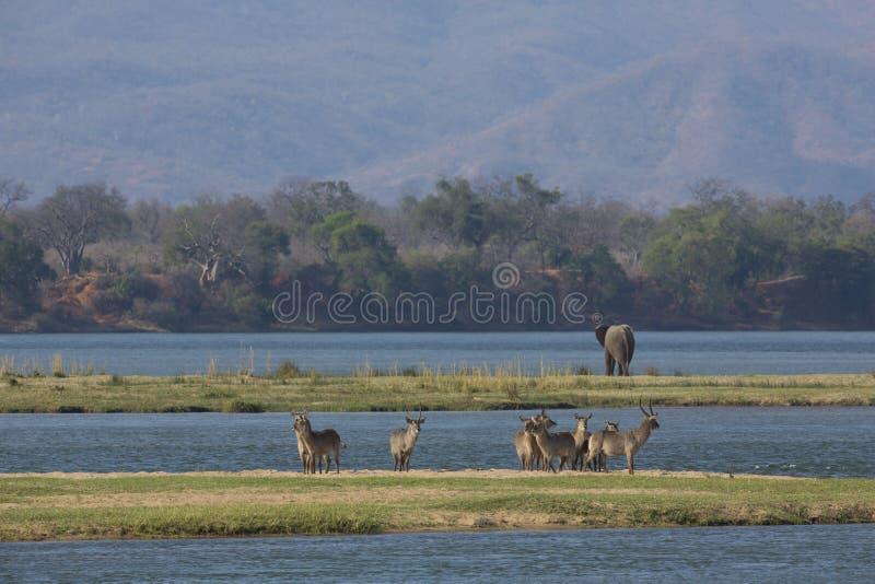 Allgemeines Waterbuck und Elefant durch den Sambesi lizenzfreies stockbild