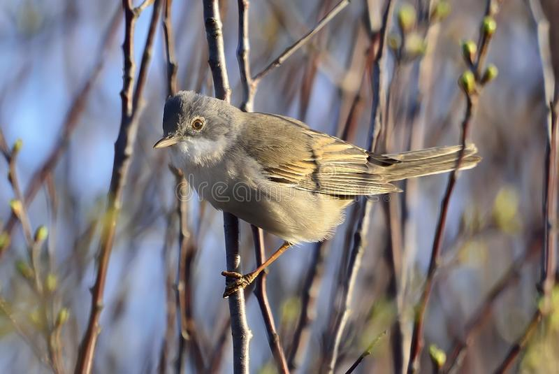 Allgemeines whitethroat Sylvia communis lizenzfreie stockfotos
