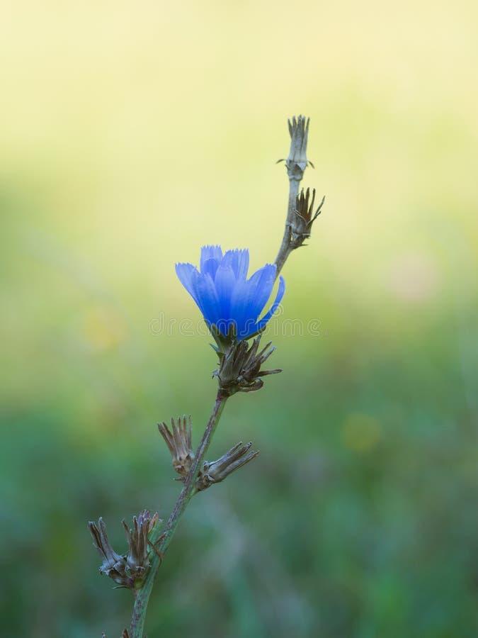 Allgemeines Zichorie Cichorium intybus blaue Blume auf einer Wiese stockfotos