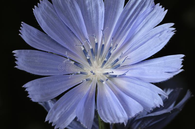 Allgemeines Zichorie oder Cichorium intybus Blumenblüten riefen allgemein blaue Seeleute, Zichorie, Kaffeeunkraut an, oder Zichor lizenzfreie stockfotos