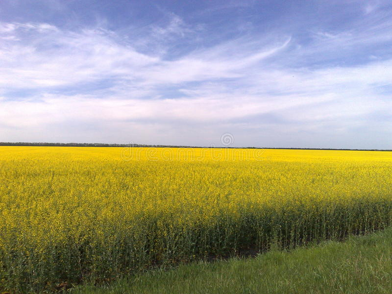 Alliance of the flowering field and sky. Landscape-elbowrooms of the native edge of the field,wood,meadow,field and yard -all this ukrainian nature stock photography