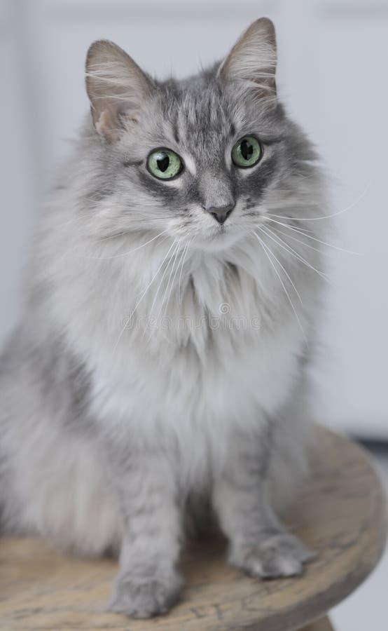 Allie katt på stol fotografering för bildbyråer