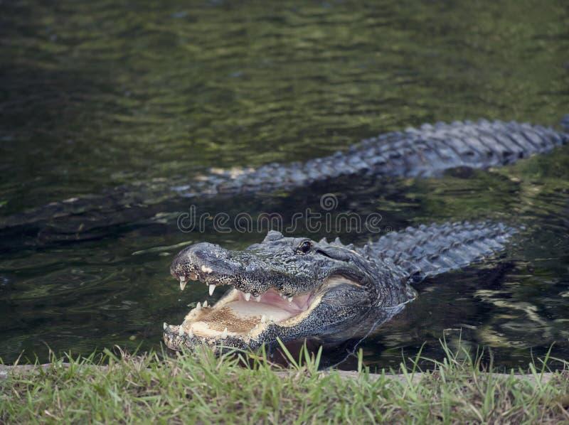 Alligadores en un estanque foto de archivo libre de regalías