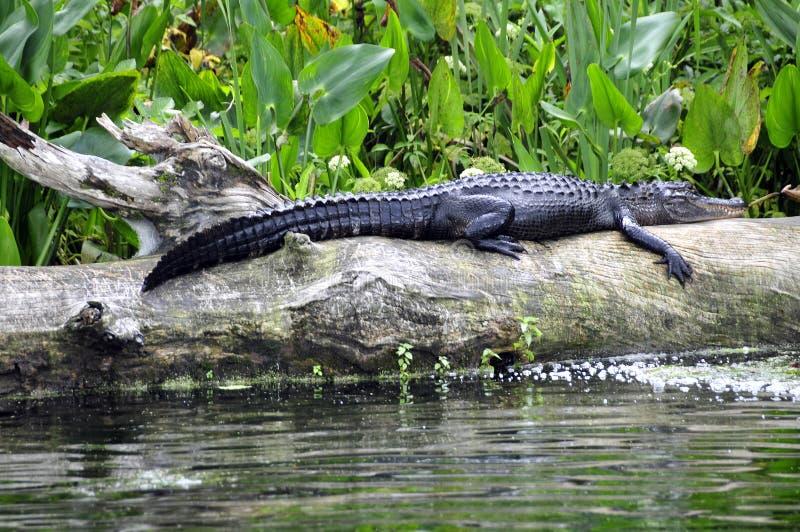alligator photographie stock libre de droits
