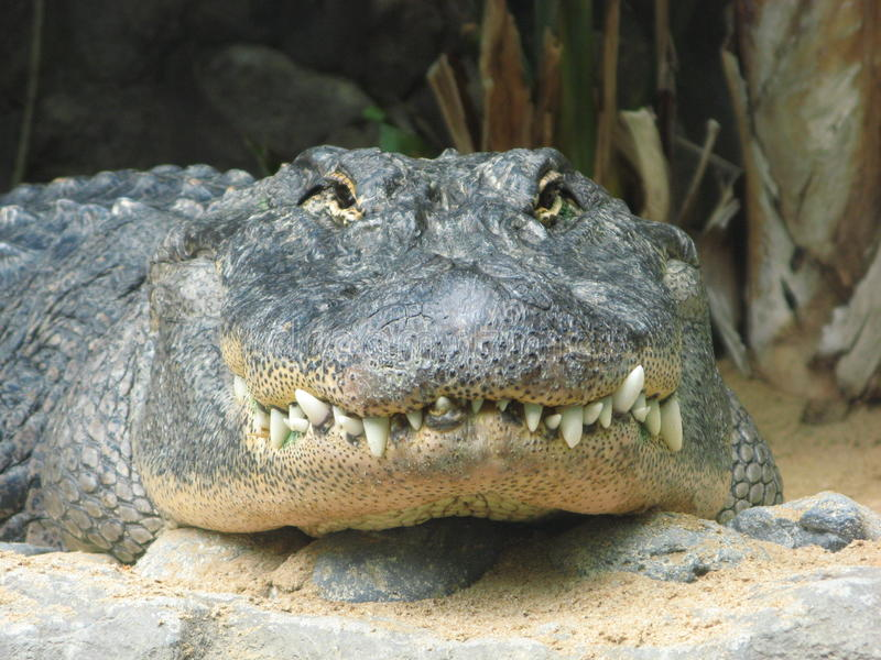 Alligator stock foto