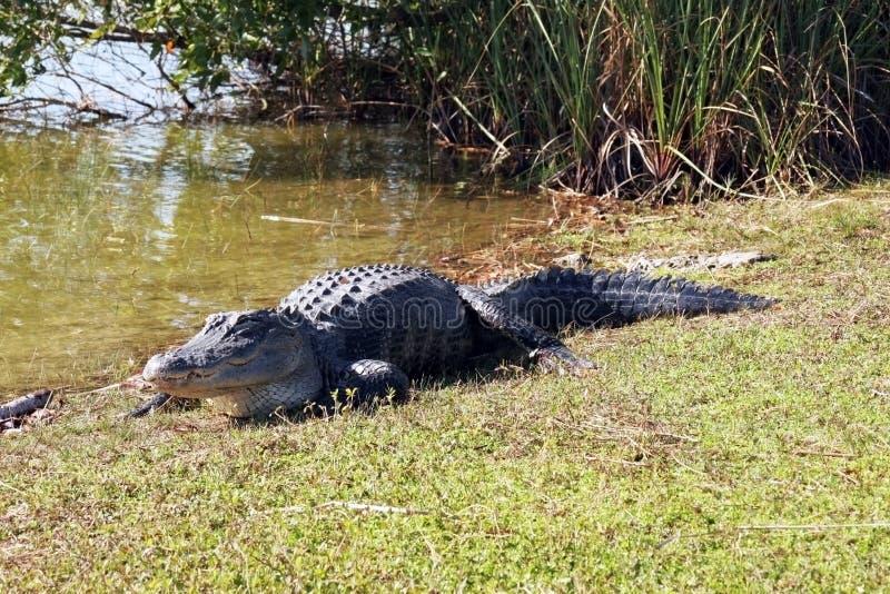 Alligator royalty-vrije stock afbeelding