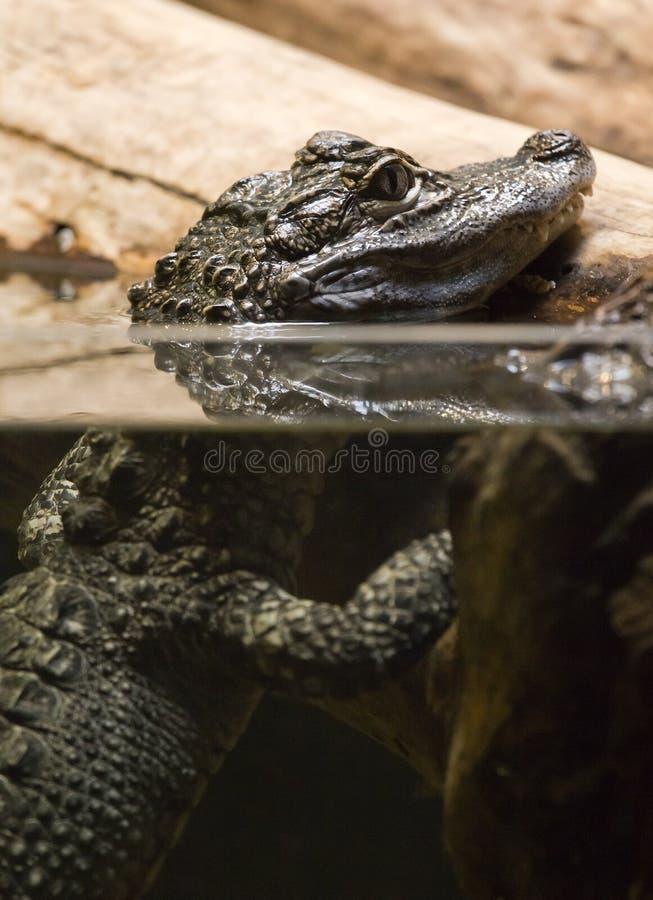 Free Alligator Stock Image - 16874831