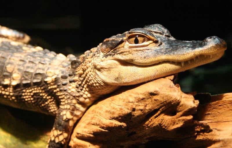 Alligator photo libre de droits