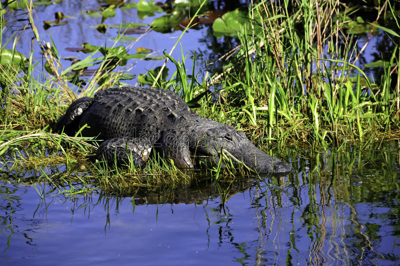 Download Alligator stock photo. Image of animals, gray, mississippiensis - 21324266