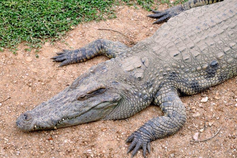Download Alligator Stock Photos - Image: 26547303
