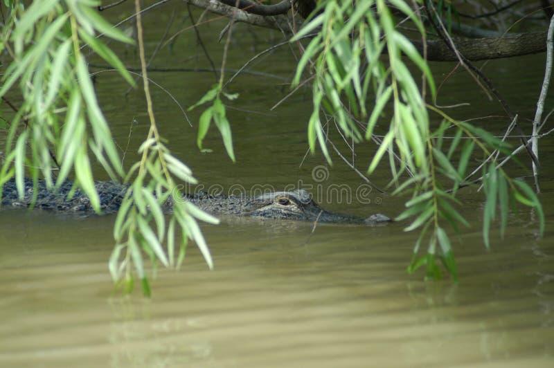 Alligator photo stock