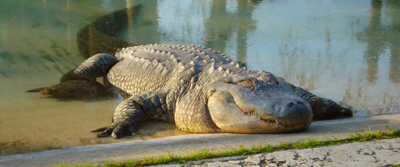 Download Alligator stock image. Image of resting, animal, rest - 4293289
