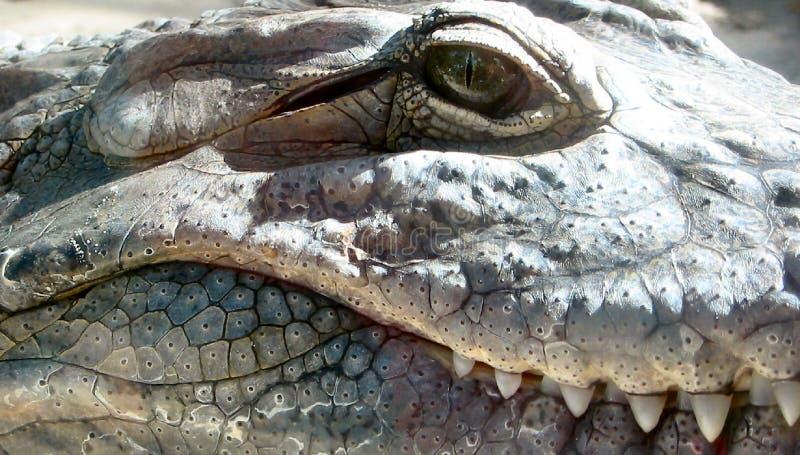 alligator arkivbilder