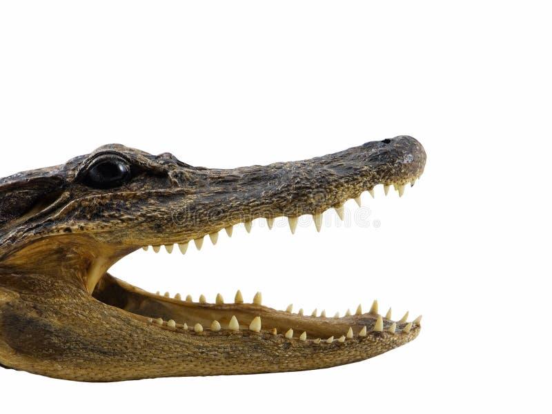 Alligator photos stock