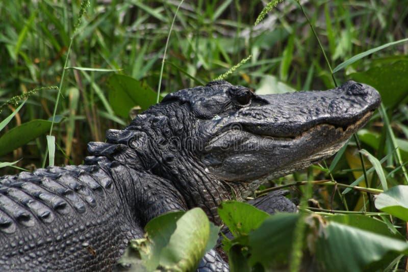 Download Alligator photo stock. Image du outside, rural, créature - 45362668