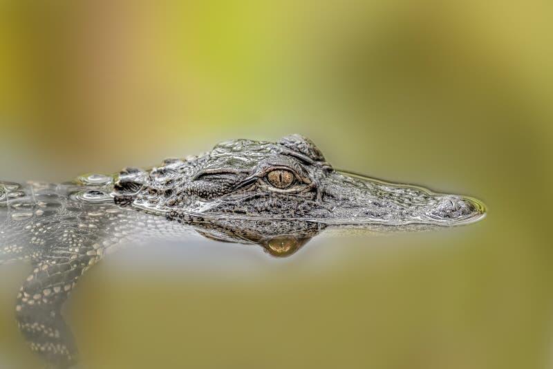 Alligator stock fotografie