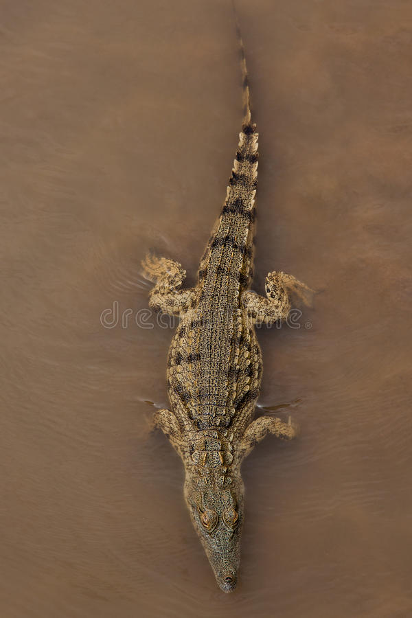 Alligator stockfoto