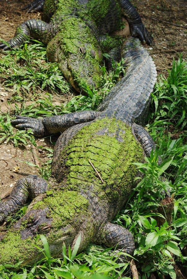 Free Alligator Stock Photo - 5537950