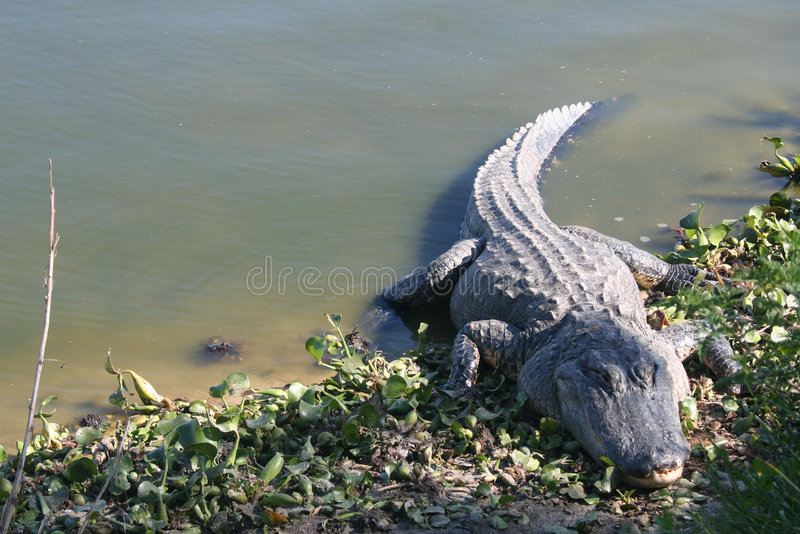 Alligator stock foto's