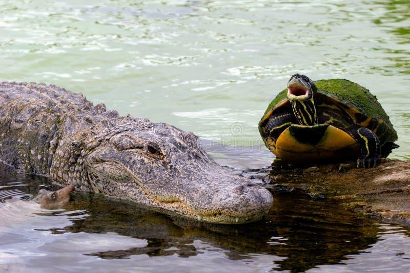 alligator 8 royaltyfri bild