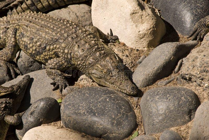 Alligator (Alligator Mississippiensis). Taken in a zoo in Fuerteventura, Spain royalty free stock image