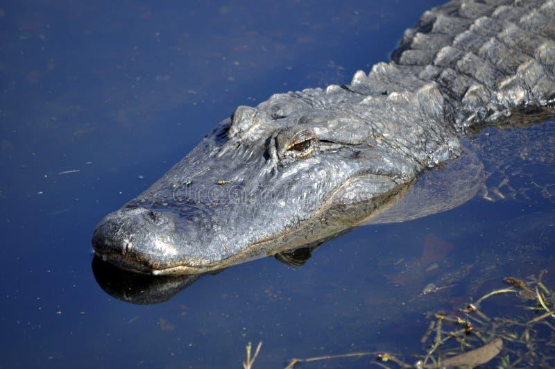 Alligator Américain égrappant Dans L Eau Image libre de droits