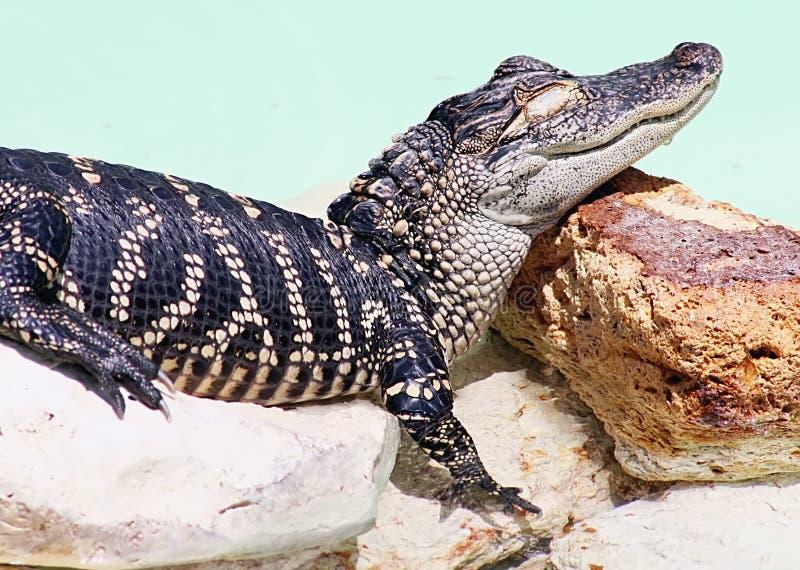 Alligator américain photo libre de droits