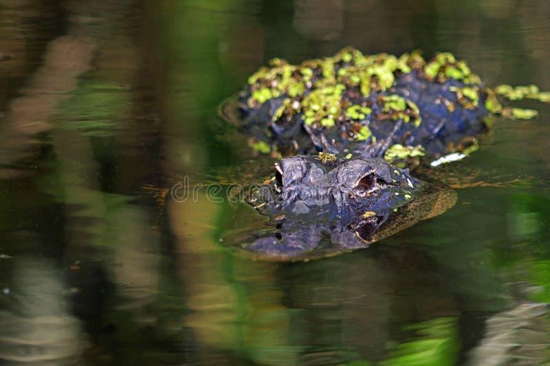 Alligator américain - alligator Mississippiensis images libres de droits