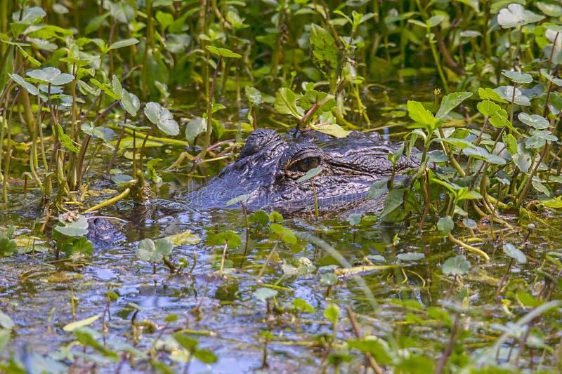 Alligator américain camouflé dans un marais images libres de droits