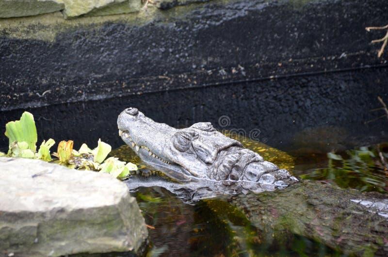 Alligator américain de repos images libres de droits