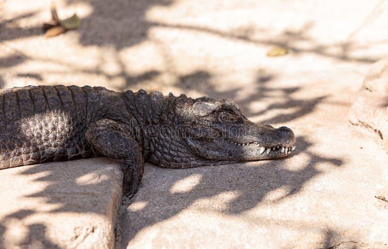 Download Alligator Américain, Mississippiensis D'alligator Photo stock - Image du sunning, herpetology: 87701728